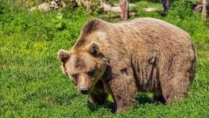 Ο ασύλληπτος τρόπος διαφυγής αρκούδας που εγκλωβίστηκε σε αυτοκίνητο – ΒΙΝΤΕΟ
