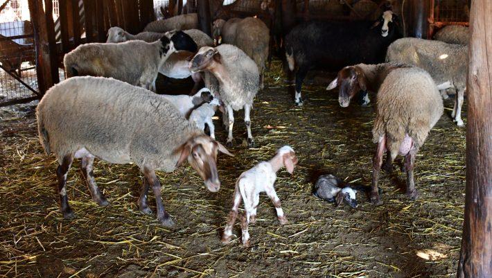 Πρωτοφανές: Αρνάκια γεννήθηκαν χωρίς αυτιά στο Ναύπλιο! - ΦΩΤΟ, ΒΙΝΤΕΟ