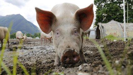 Γουρούνι σκότωσε αγρότη στην Κίνα