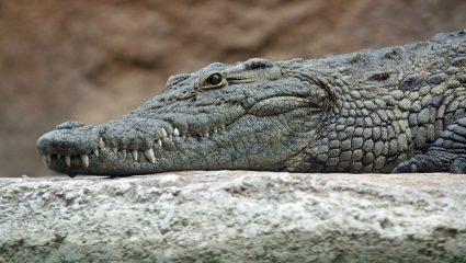 Ένας κροκόδειλος… κάνει πλάκα σε διασώστες (ΒΙΝΤΕΟ)