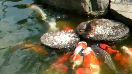 Παπάκι ταϊζει ψάρια στη λίμνη! (ΒΙΝΤΕΟ)