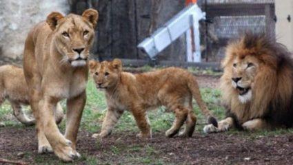 Εξαγριωμένη λέαινα σκότωσε τον πατέρα των τριών μικρών της