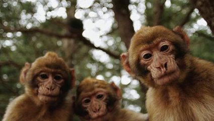 Απίστευτο: Μαϊμούδες σκότωσαν με τούβλα 72χρονο!