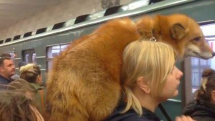 Μπήκε στο μετρό με την… αλεπού της! (ΒΙΝΤΕΟ)