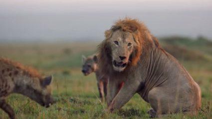 Ασύλληπτο βίντεο: Λιοντάρι παλεύει με πάνω από 20 ύαινες
