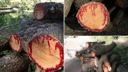 Παράξενο δέντρο… ματώνει όταν κόβεται!