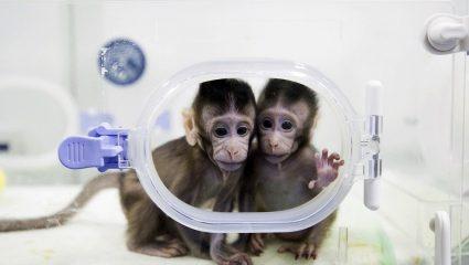 Κινέζοι επιστήμονες δημιούργησαν μαϊμούδες με νευροψυχικές διαταραχές