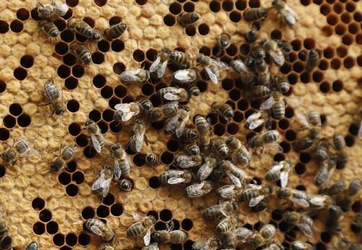 Οι μέλισσες ξέρουν να κάνουν πρόσθεση και αφαίρεση, σύμφωνα με τους επιστήμονες