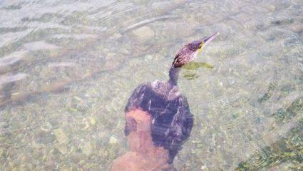 Ναύπλιο: Μεγάλο χταπόδι άρπαξε κορμοράνο (ΒΙΝΤΕΟ)