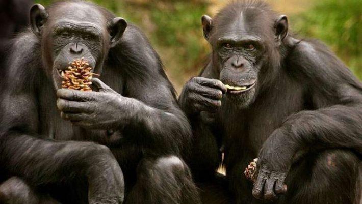 Χιμπατζήδες απέδρασαν από ζωολογικό κήπο με αυτοσχέδια σκάλα!