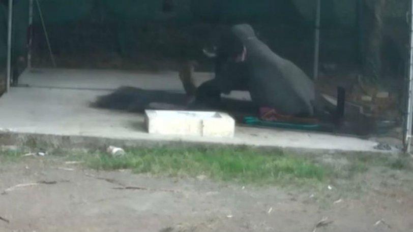 Ελέφαντας σκότωσε τον εκπαιδευτή που τον μαστίγωνε - ΒΙΝΤΕΟ
