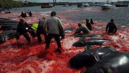 Τρομακτικές εικόνες: Έγινε κόκκινη η θάλασσα στα Φερόε – Σκότωσαν 250 φάλαινες και δελφίνια